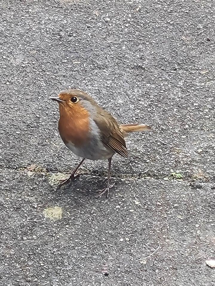 A Robin, sits outside waiting