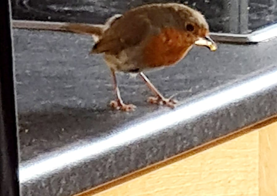 The Robin, enjoying some cheese while in our Kitchen